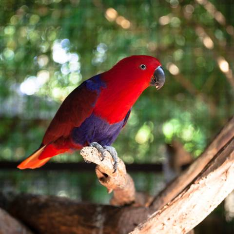 Red-sided Eclectus Parrot