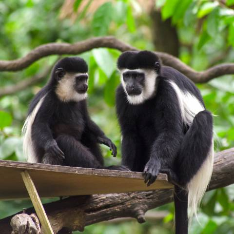 Eastern Black and White Colobus